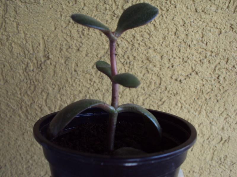 Sobne Rastline Sobne Rastline Taščin Jezik